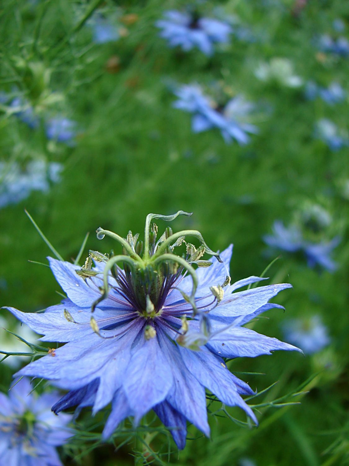 Nigella attract beneficial insects into the garden