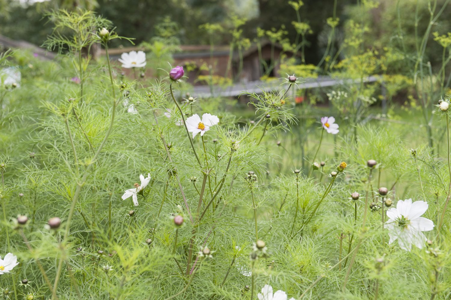 Cosmos fronds provide a rich sea of greenery dotted with pink and white petals