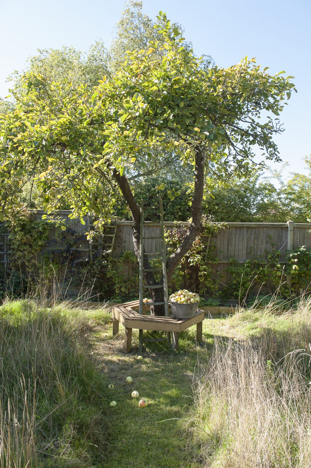 One of many fruit trees in the back garden