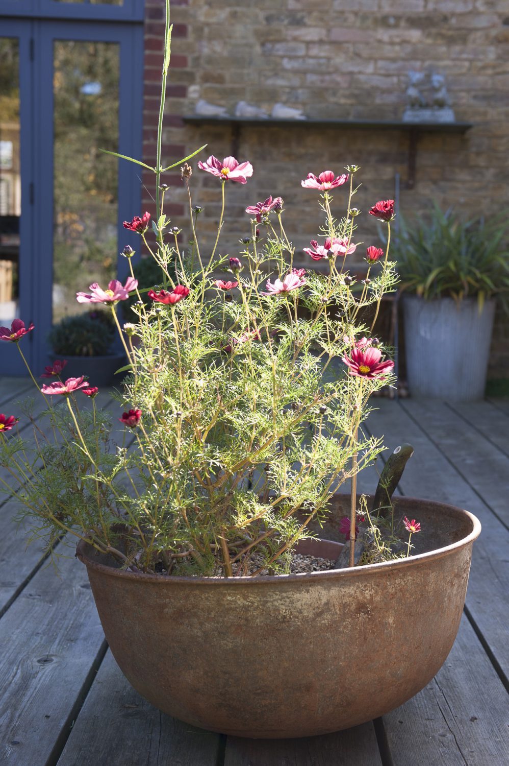 Cosmos sit in a vintage container