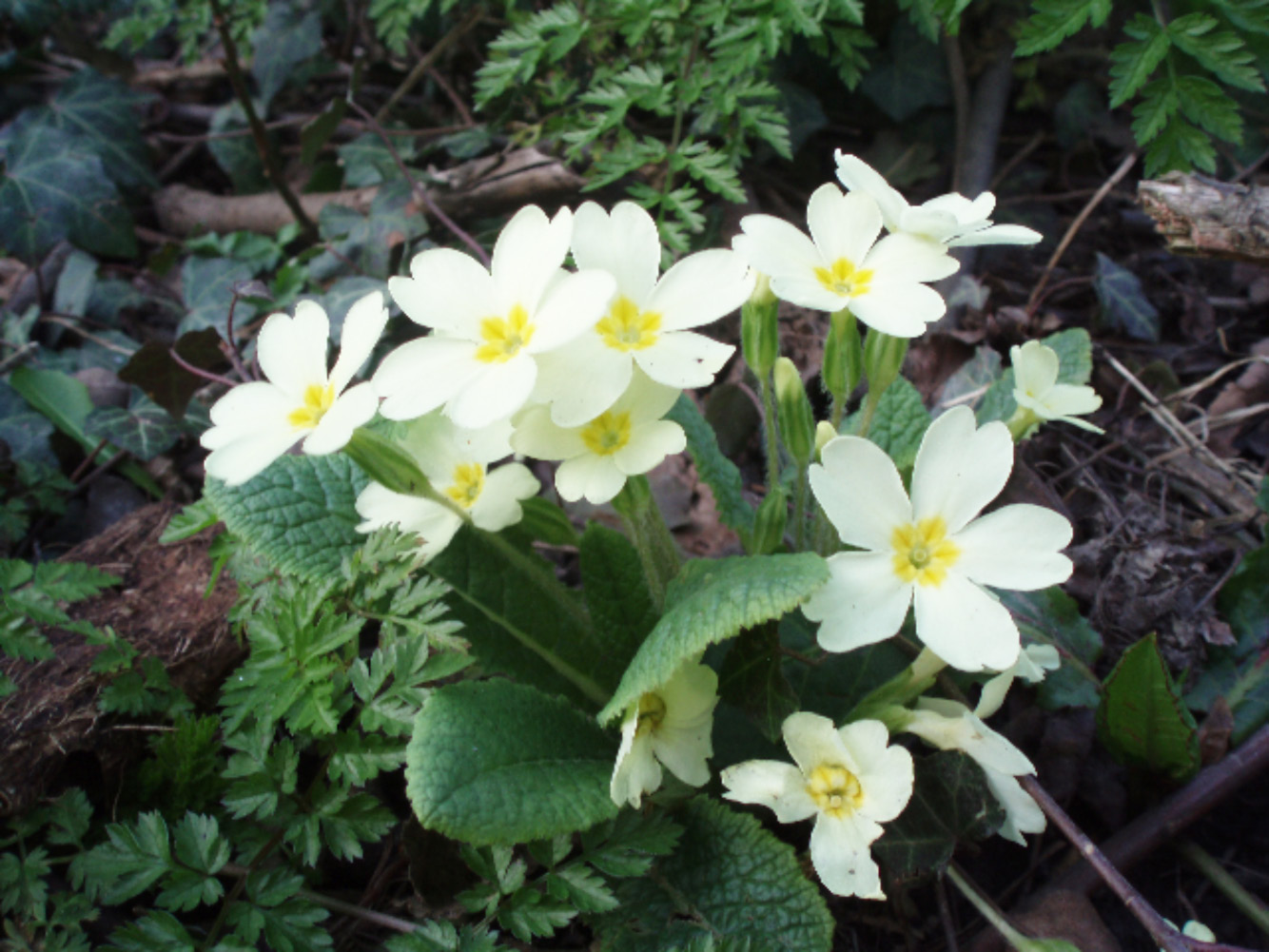 Primroses are the wild (and infinitely preferable) cousin of the garish garden centre Polyanthus