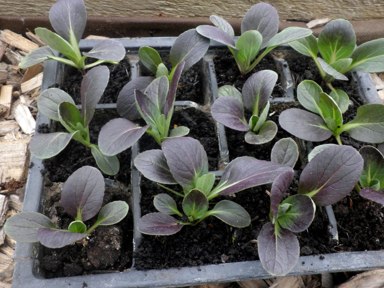 If you are short of time, but still want to grow something, then salad leaves are wonderfully quick and simple to grow from scratch