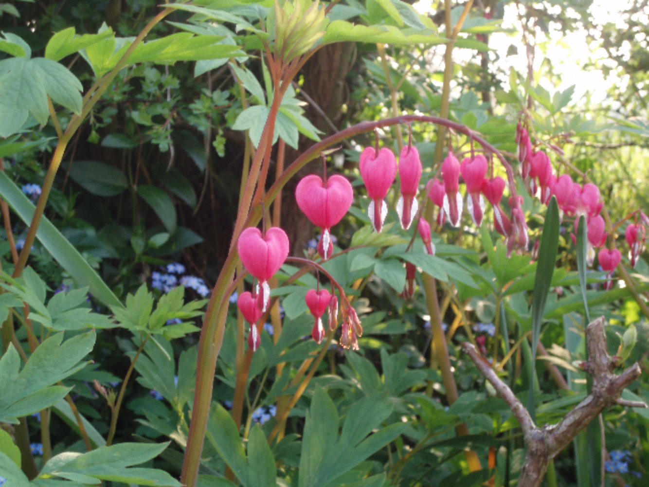 Delicate, but very hardy Dicentra spectabilis prefers the shade