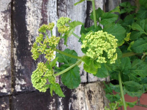 Alexanders can often be found on the sites of monastery gardens and were both a food source and perhaps used as a medicinal ingredient by the monks