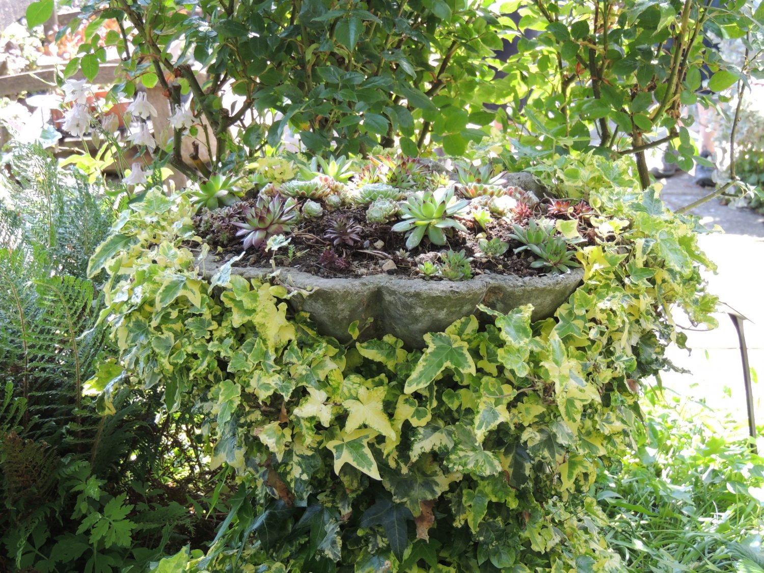 Variegated ivy snakes around a stone planter