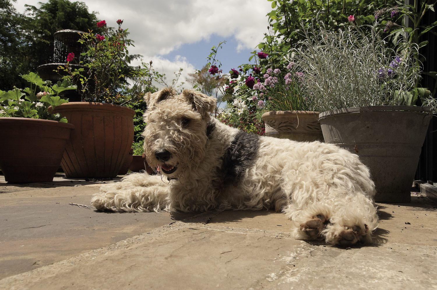 Hector the fox terrier basks in the sunshine