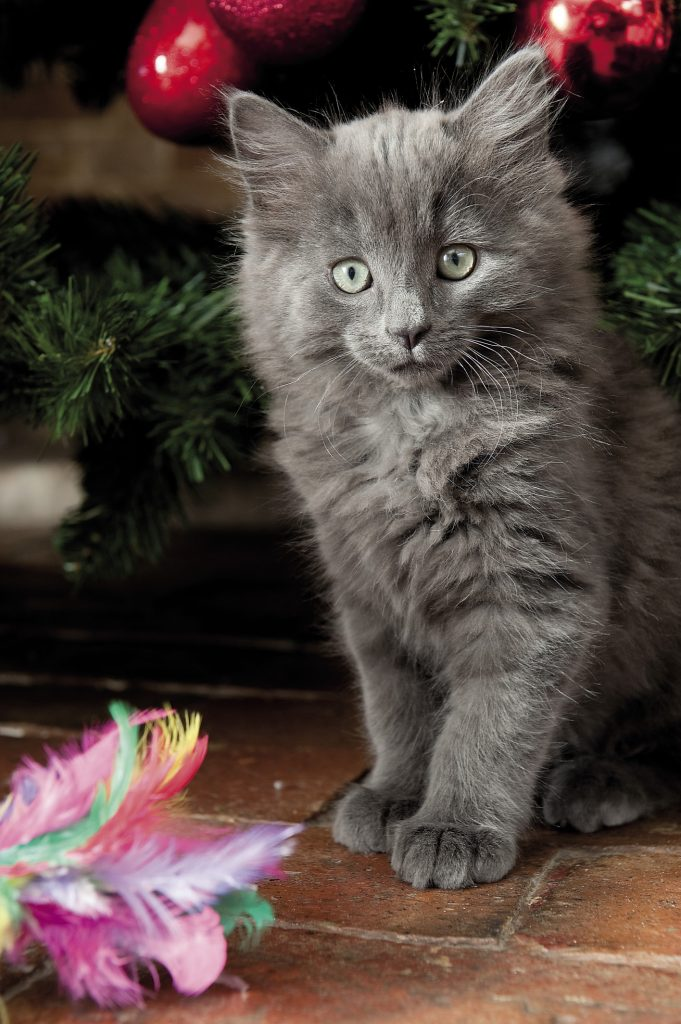 The family's new kittens are fascinated by papier-mâché red apples and pears dangling from the Christmas tree