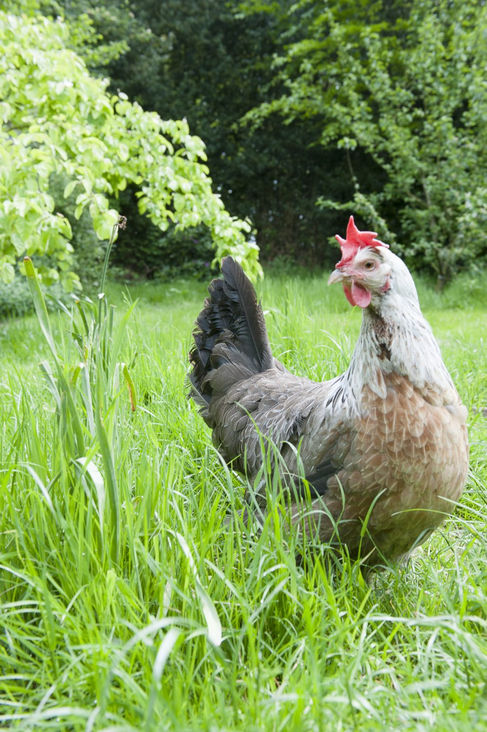 We're led back up through the garden into the orchard where her comely purebred hens – Buff Laced Wyandotte, Speckled Sussex and Silver-grey Dorking – amble contentedly around