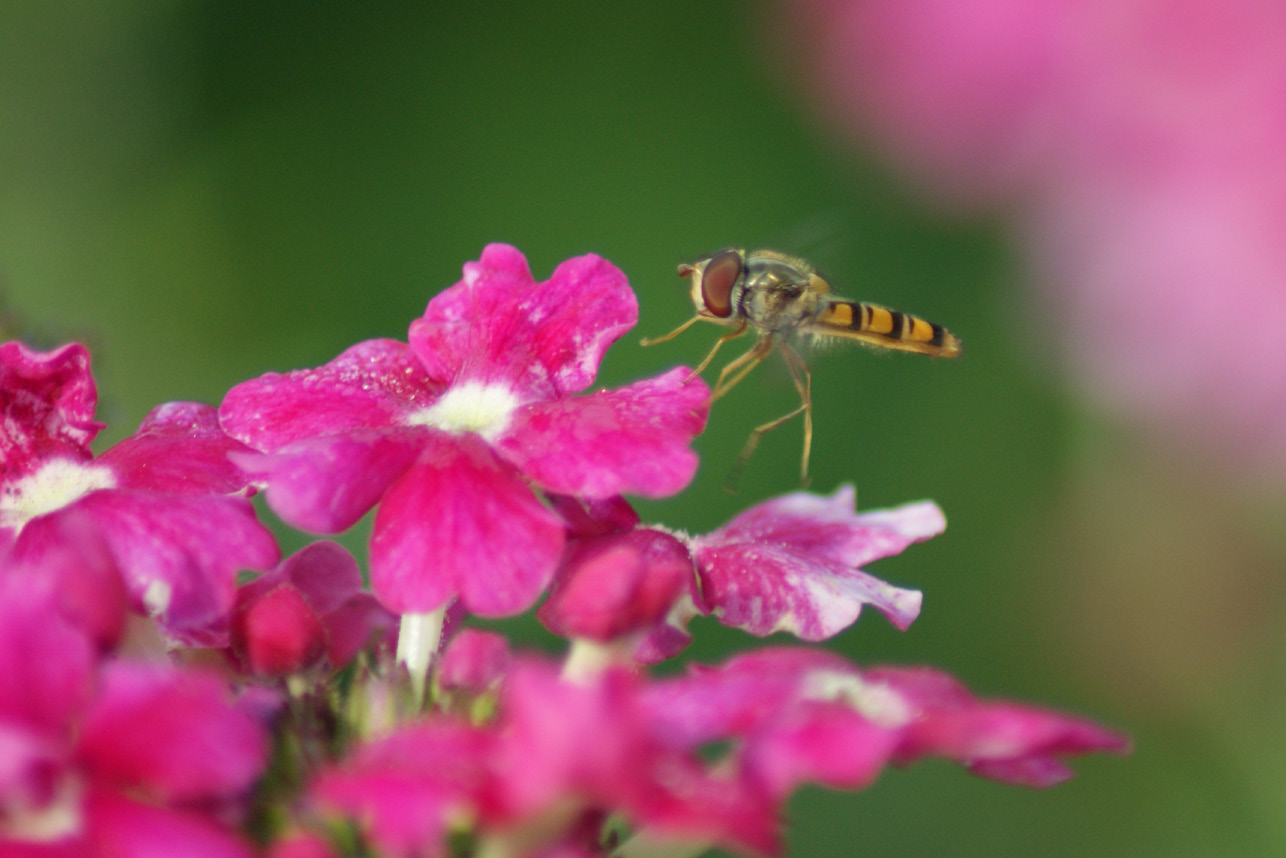 Hoverfly larvae are partial to greenfly and the adult hoverfly is a great pollinator
