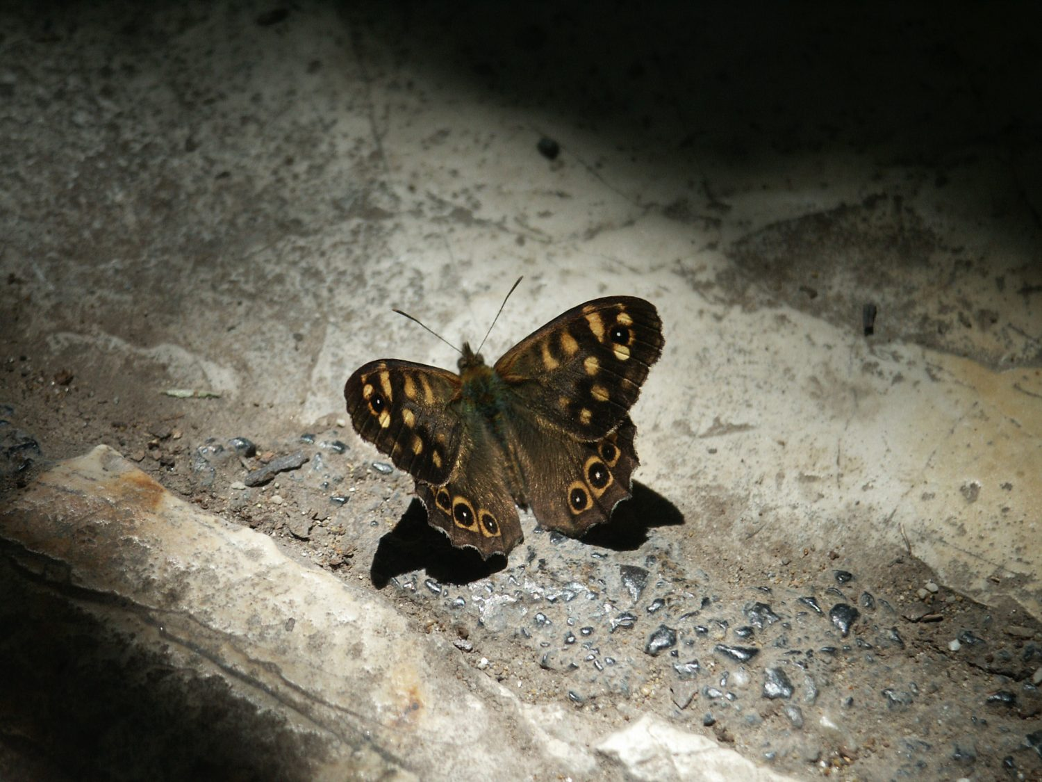 Butterflies have been on earth for at least 50 million years