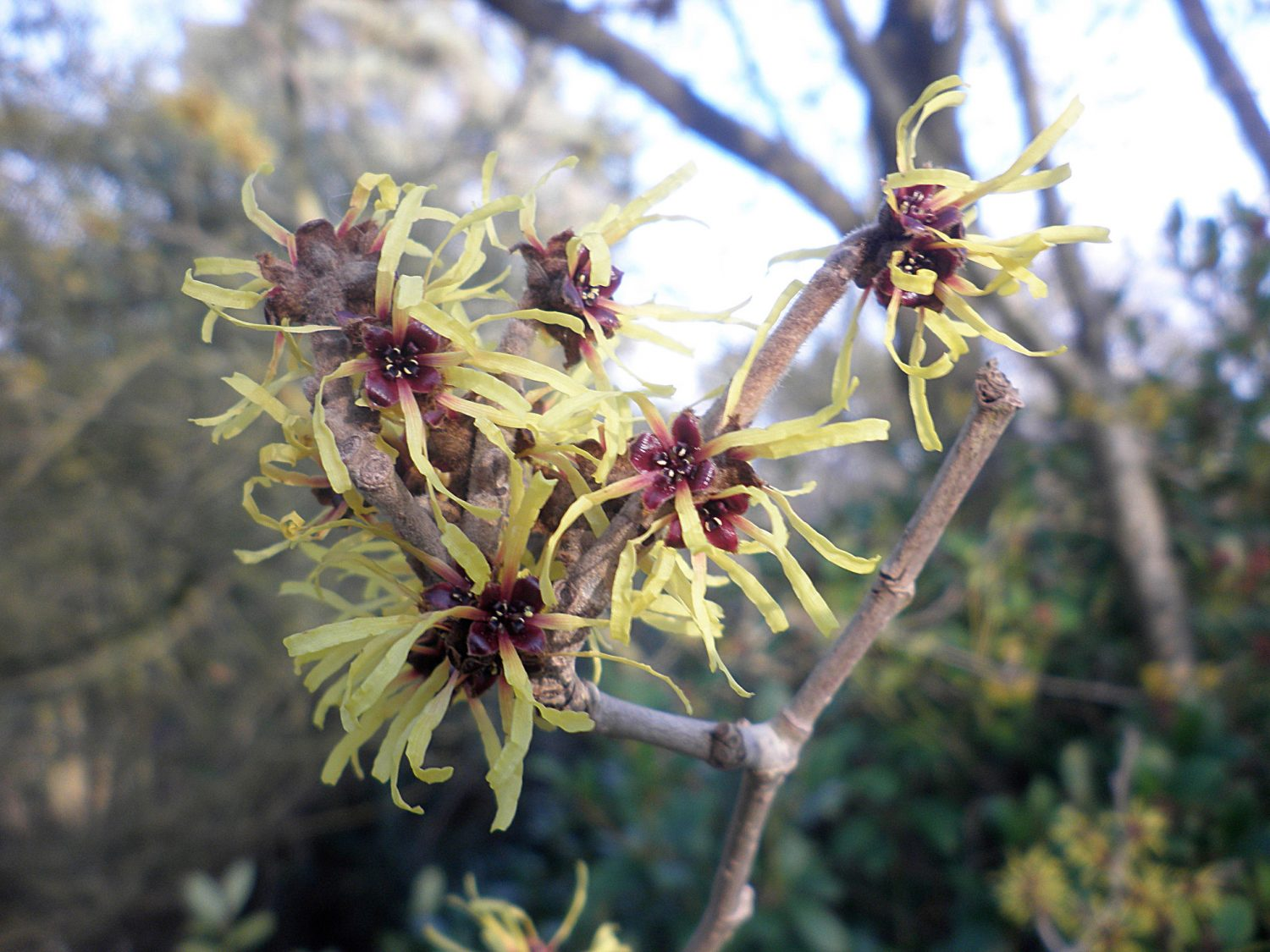 Witch Hazel: Hamamelis x intermedia 'Pallida'