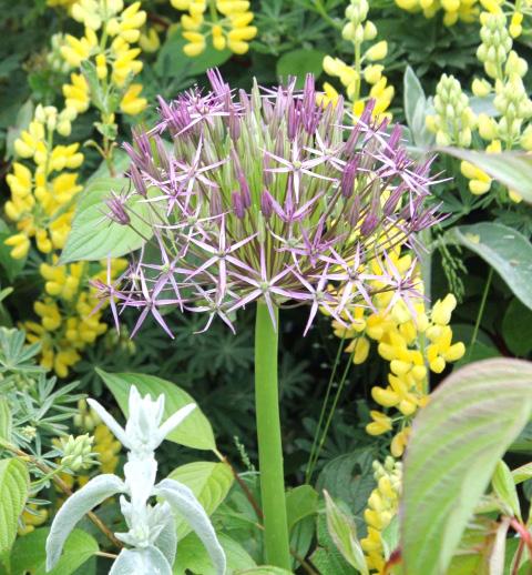 Alliums add architectural interest to borders