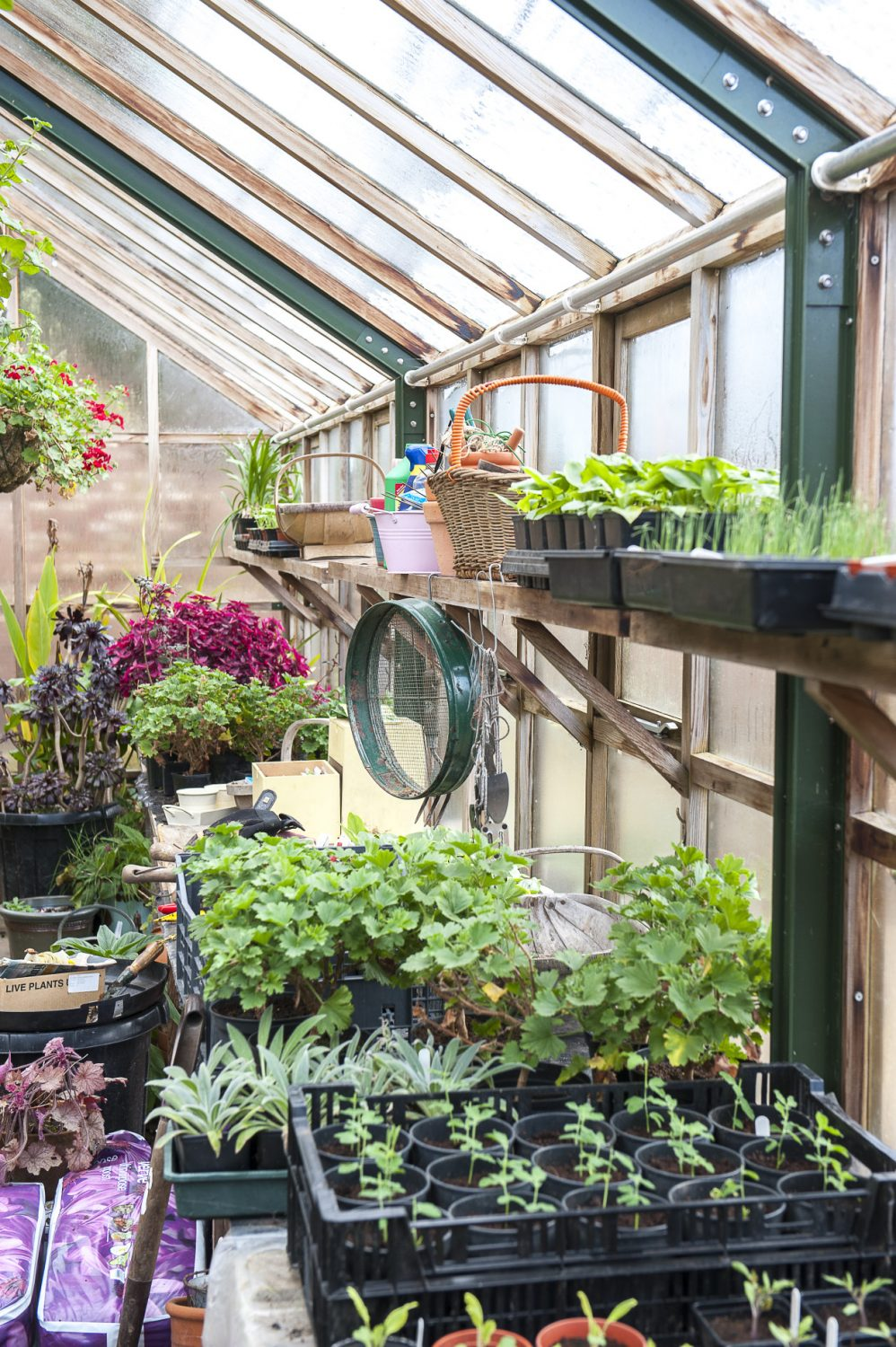Benches inside the greenhouse are laden with all manner of seedlings, ready to be planted out once the risk of frosts has passed