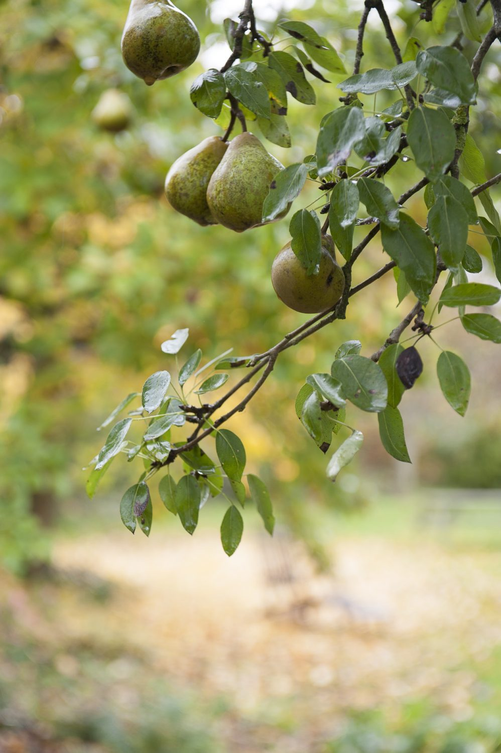 Pears in the drizzle