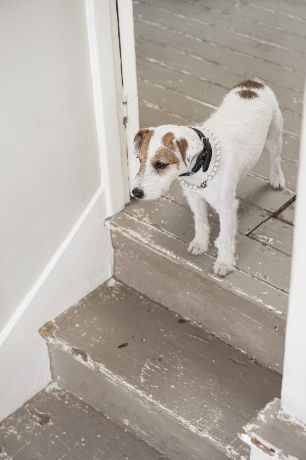 Lucy the Jack Russell poses for a photo in her pearl necklace