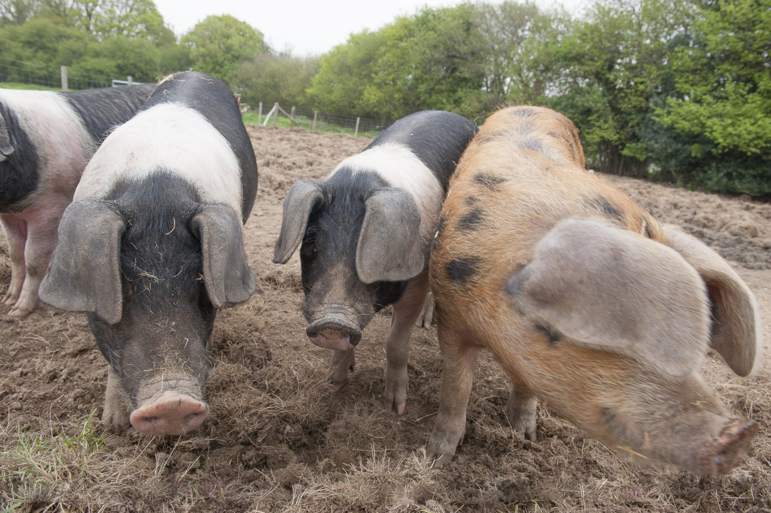 Sally and Rob have turned their six acres into an increasingly productive farm which includes rare breed pigs and a herd of Dexter cattle
