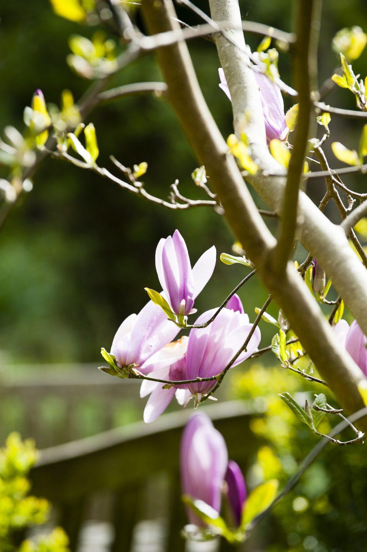 A magnolia in the garden