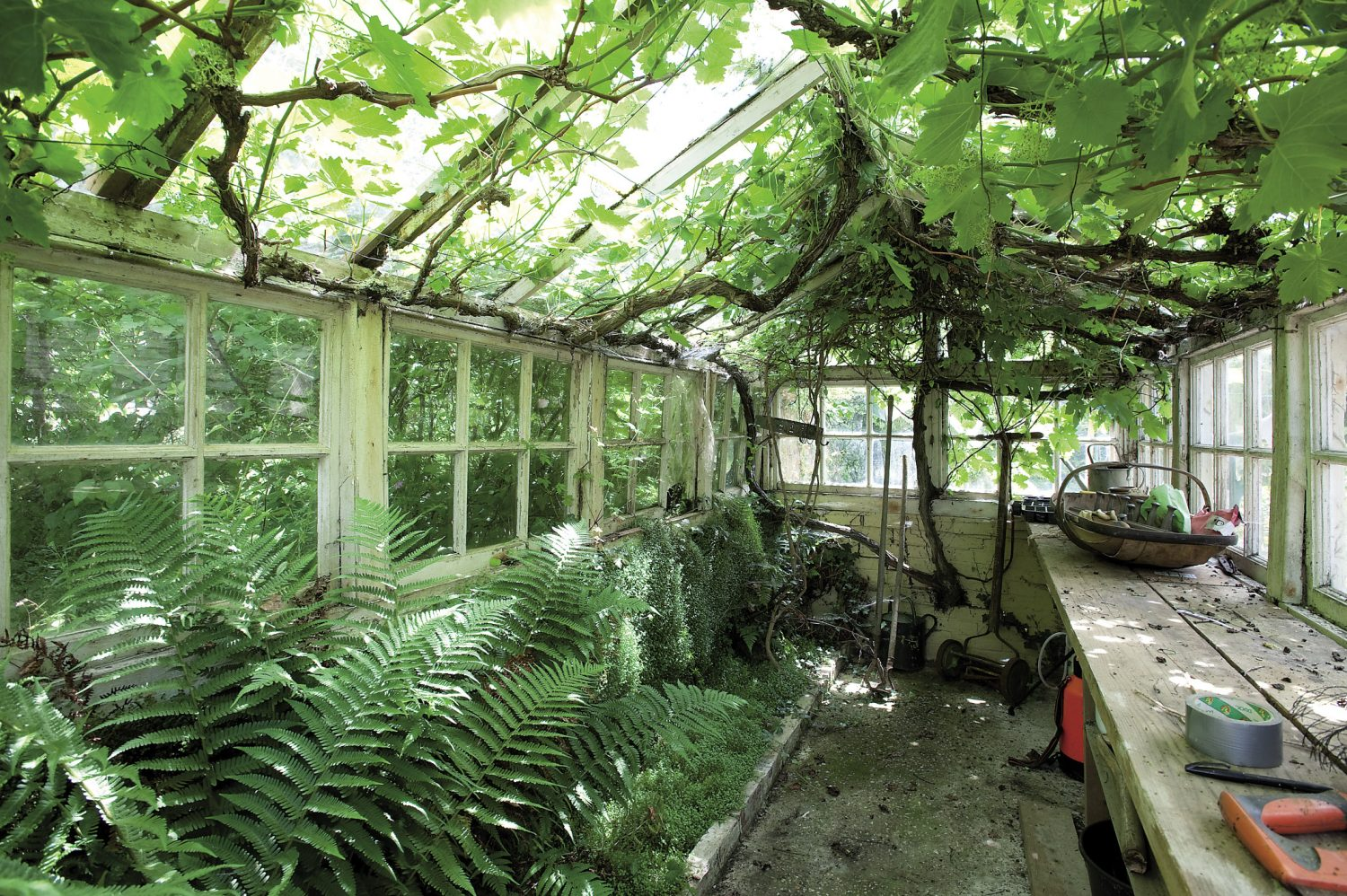 An enchanting old glasshouse that is almost overtaken by ferns and grapevines