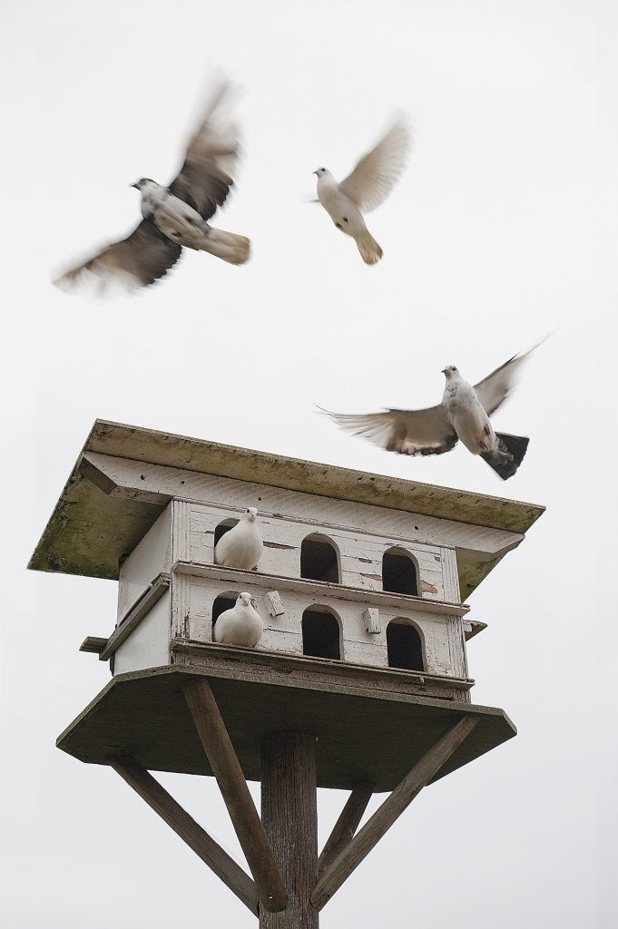 a flock of white doves live in the dovecote