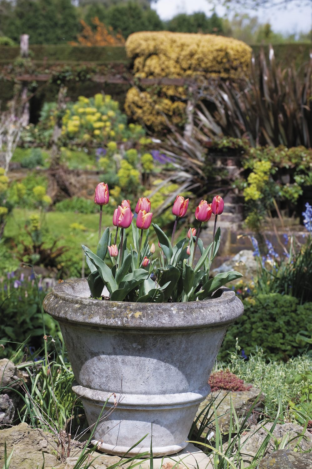pots of vividly coloured tulips brighten the early spring beds and borders