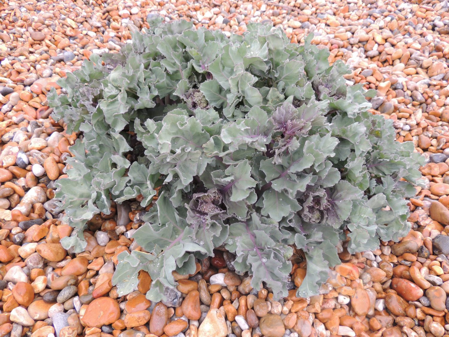 Sea kale is edible and people used to blanch it in the same way you would rhubarb, but by piling the shingle over it