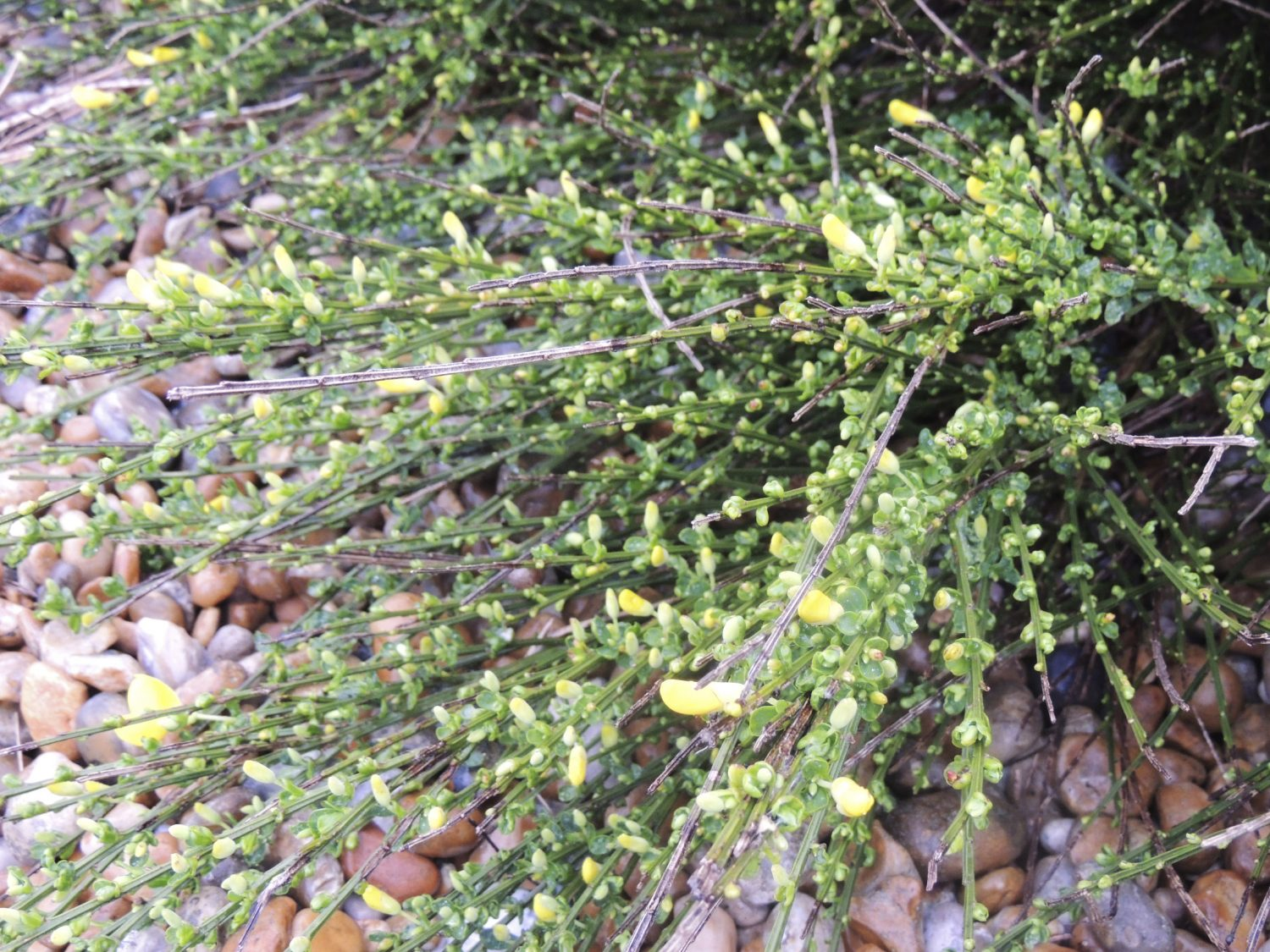 I'm not sure that I was expecting to see prostrate broom on the beach. It is just coming into flower now and is a really unusual pioneer species. Its flowers are pea shaped and a rather softer yellow than the clouds of broom up by the roadside