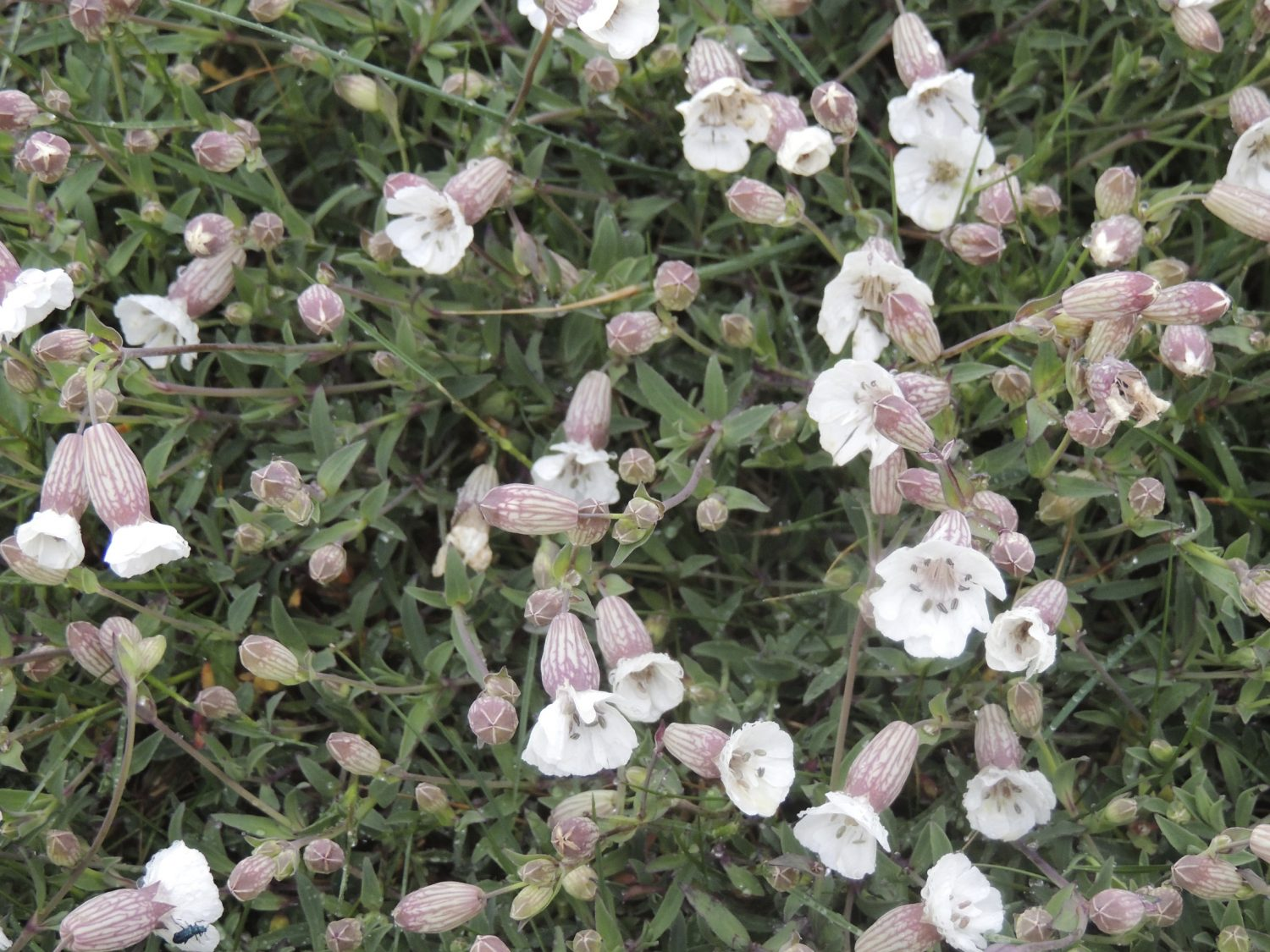 Sea Campion grows really low, perfectly adapted to cope with the force of the winds at Dungeness
