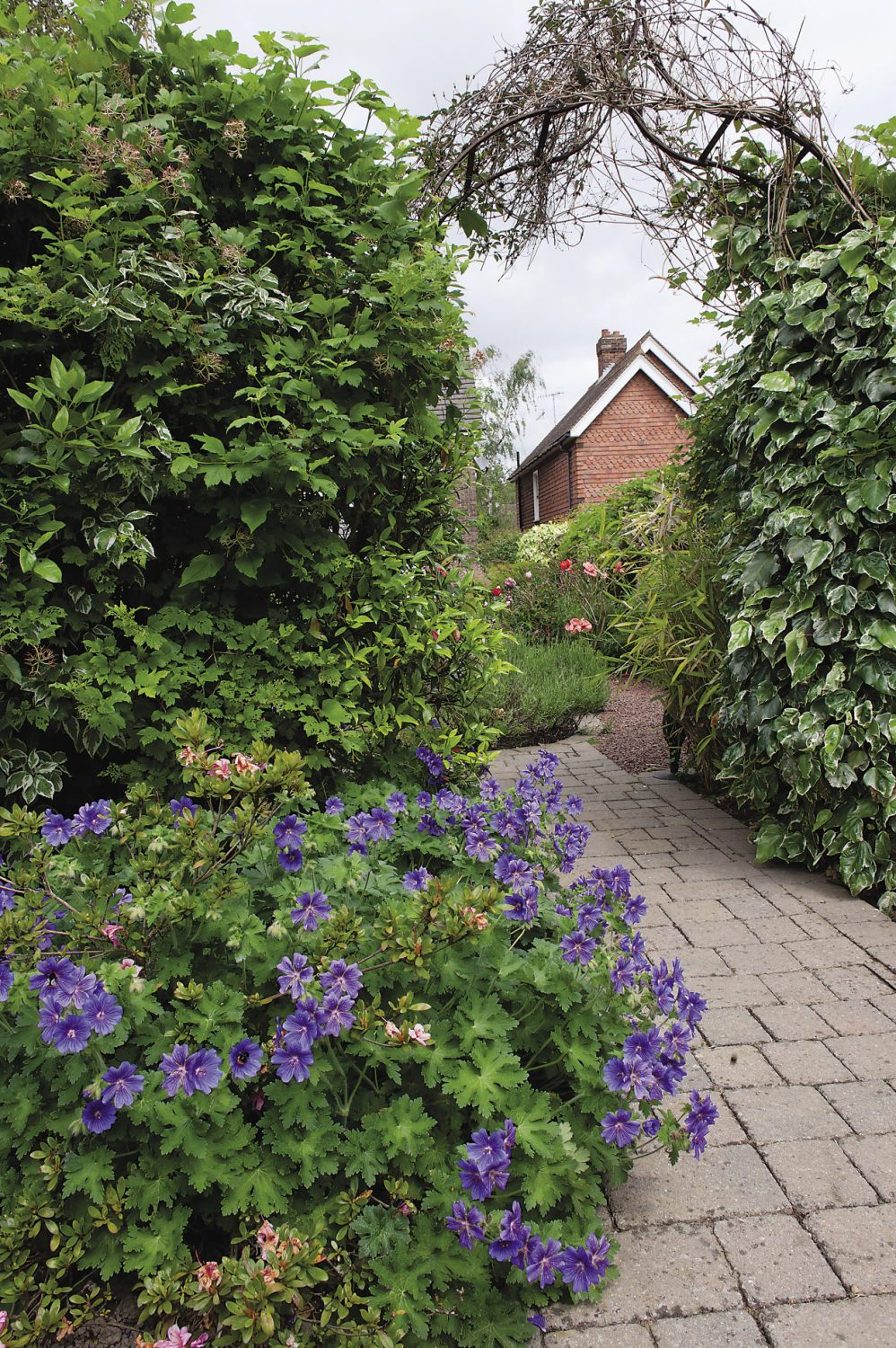 Vibrant cranesbill geraniums line the path that leads from Ann's house to the Therapy Shed