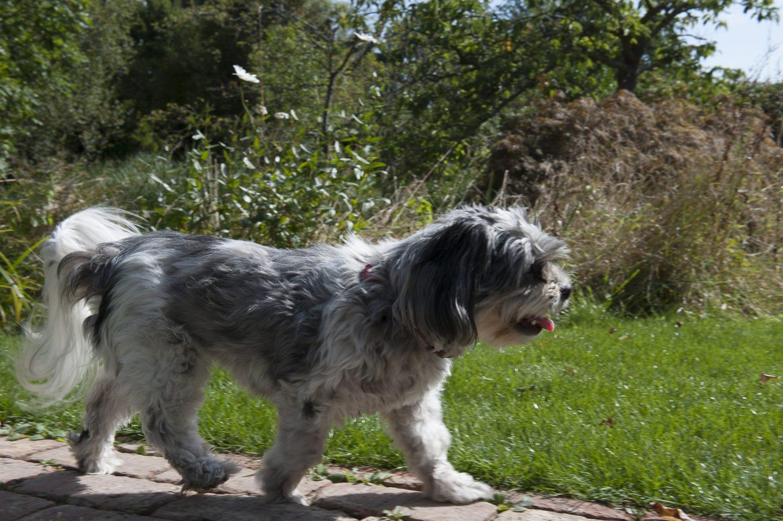 Poppy the dog trots along the garden path