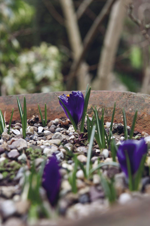 Spring bulbs burst into life in Nancy's pretty topiary-filled garden
