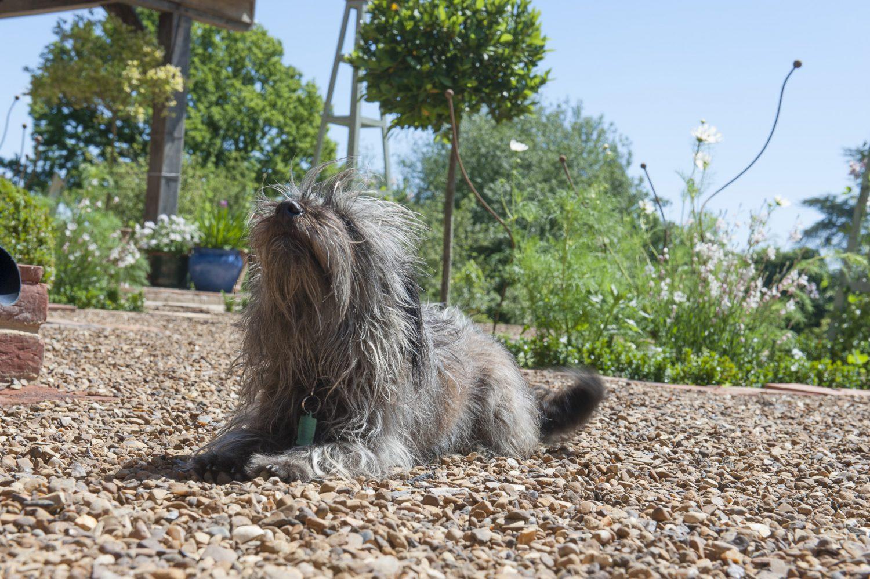 Jackadoodle Ruby enjoys the sunshine