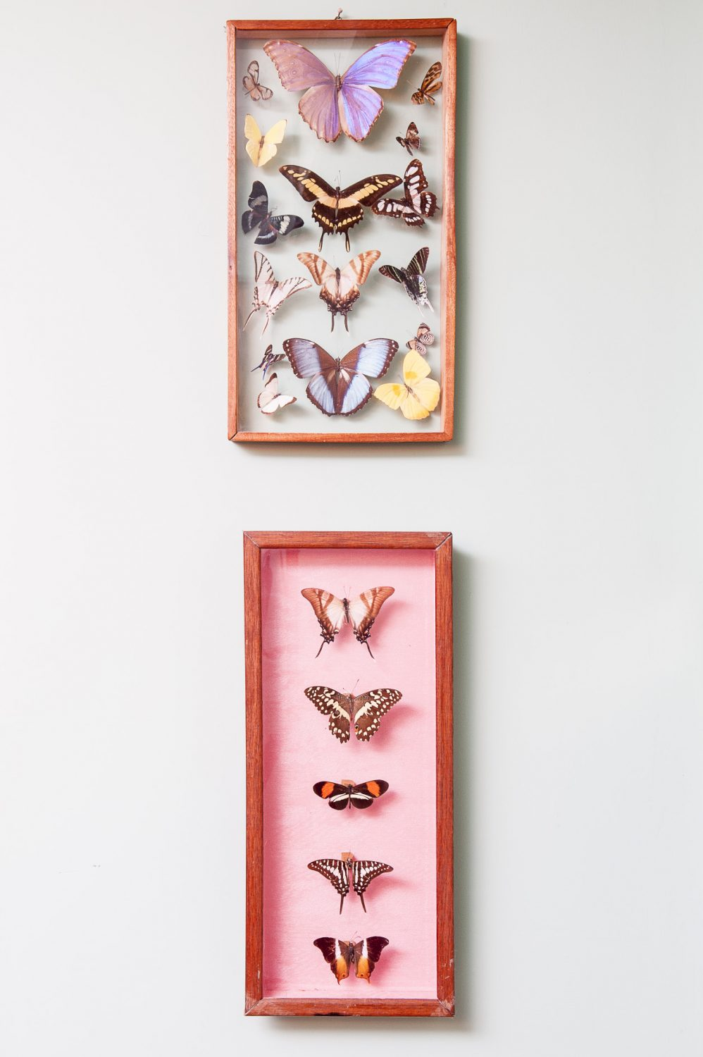 A well-preserved collection of butterflies