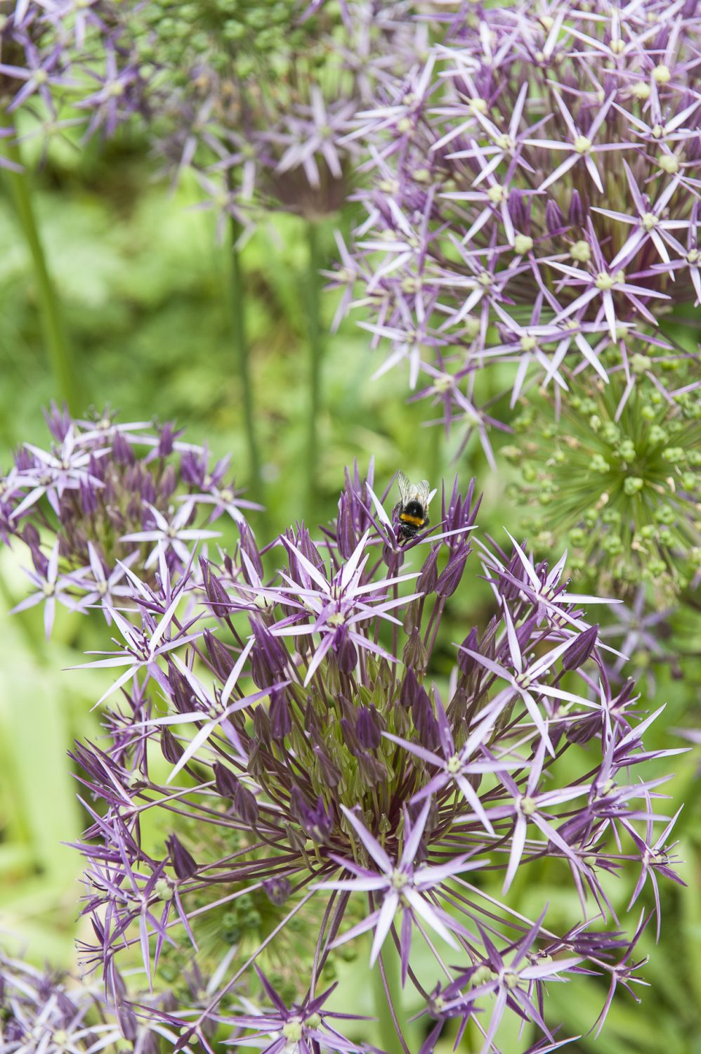 Alliums in the garden