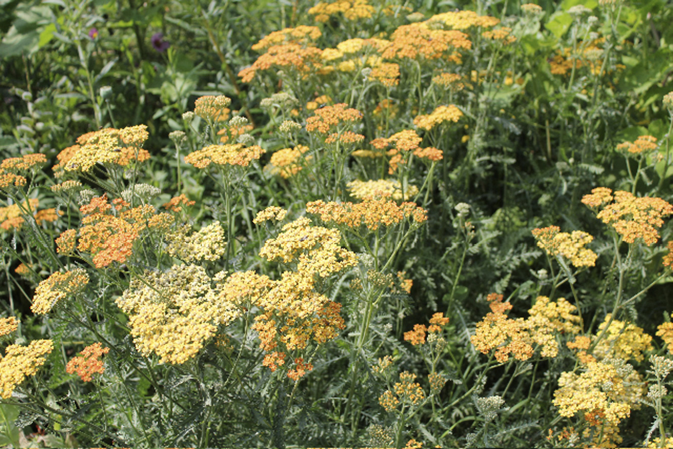 Achillea will bloom from June to September