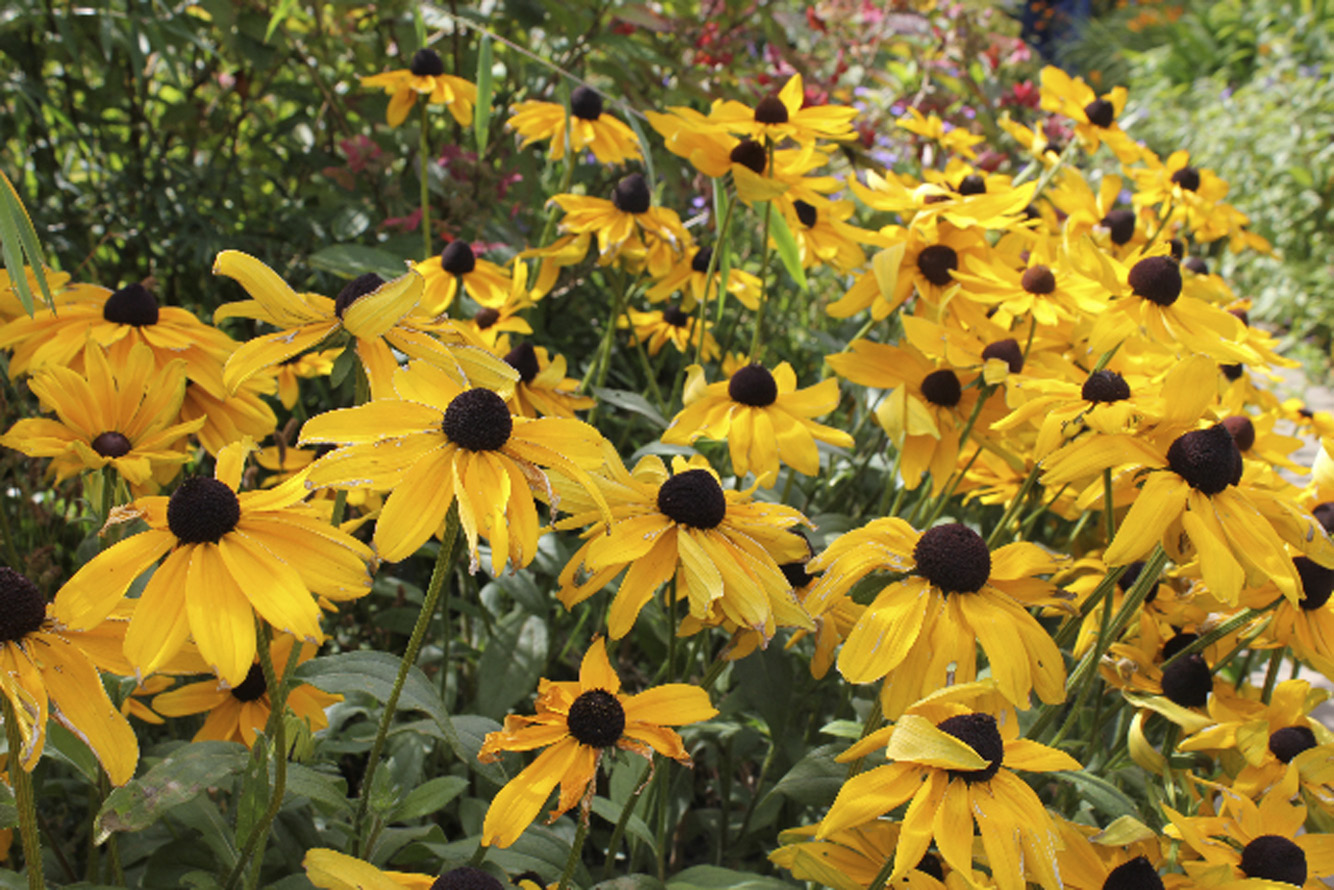 Yellow echinachea adds good cheer to a border