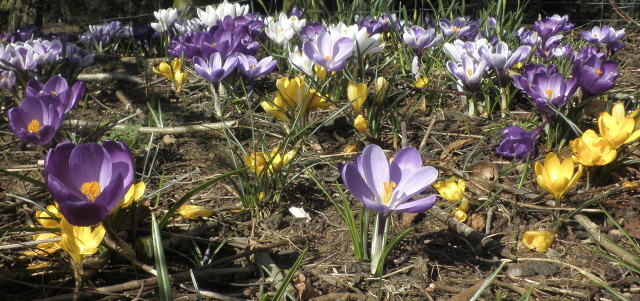 For a natural effect, throw handfuls of bulbs about at random, and then plant them where they land