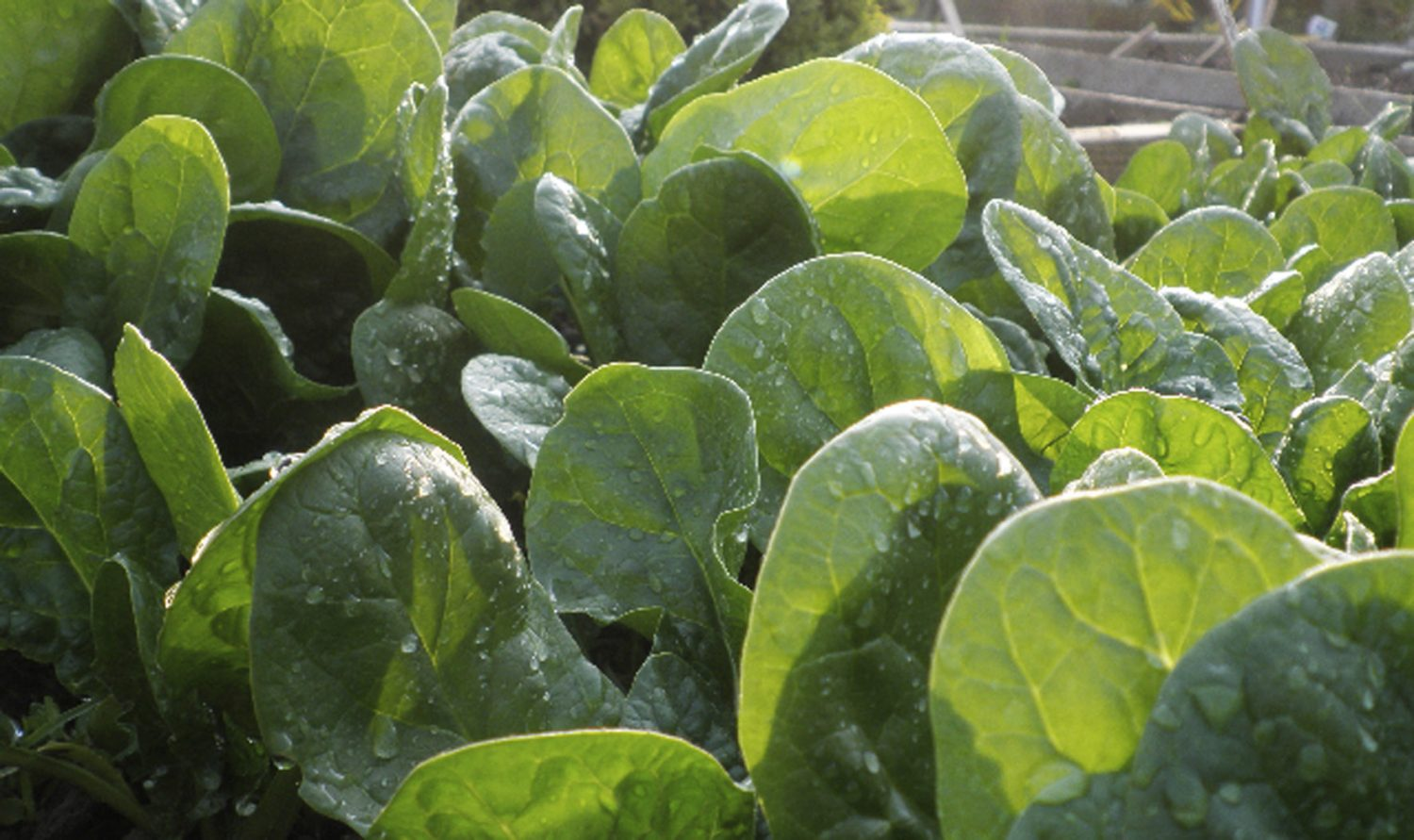 Some leafy crops and hardy salad leaves can be started off in February