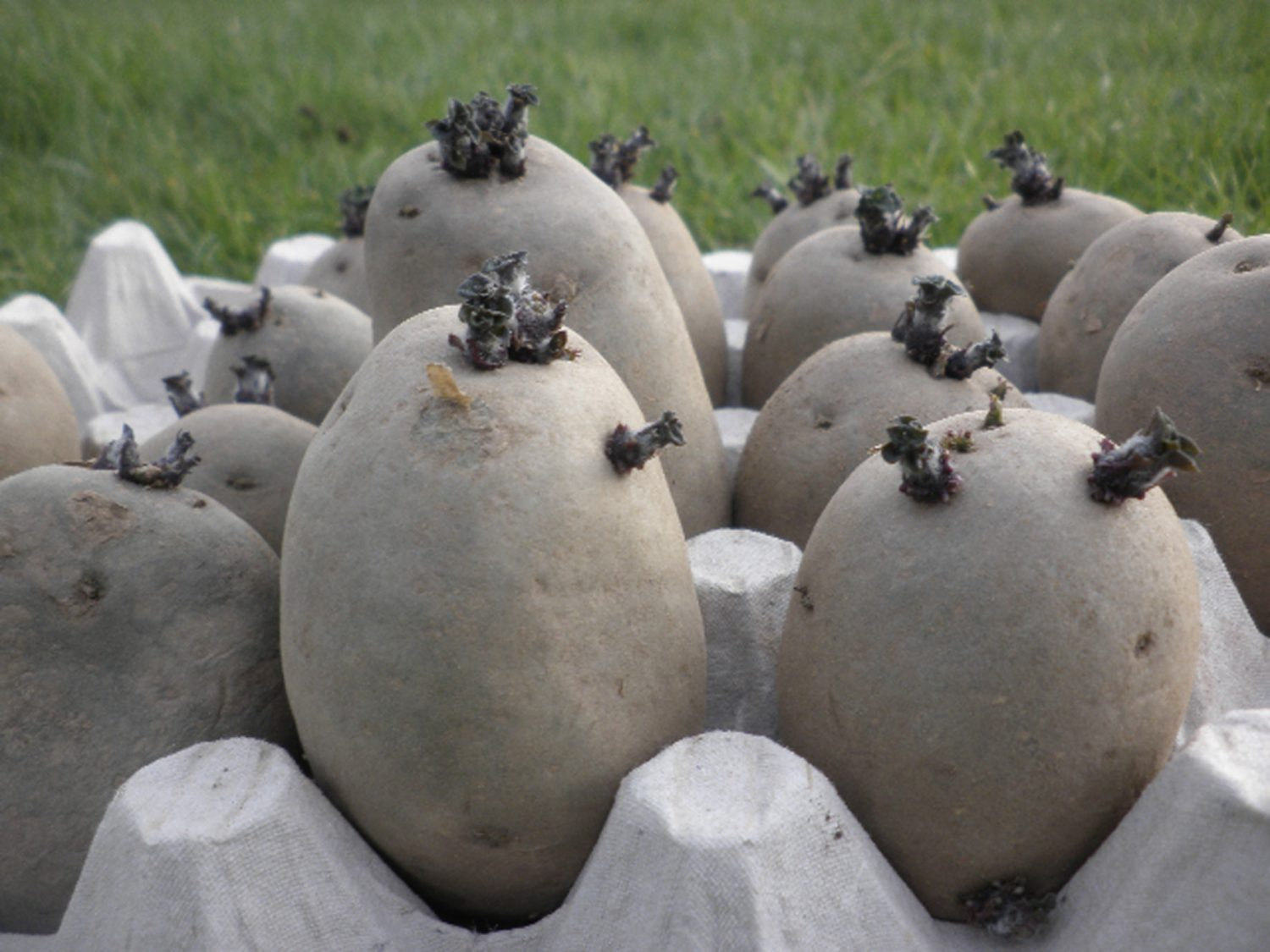 You've probably seen your eating potatoes occasionally start sprouting long straggly white shoots, but seed potatoes should be placed in a shallow tray or egg box and left to sprout