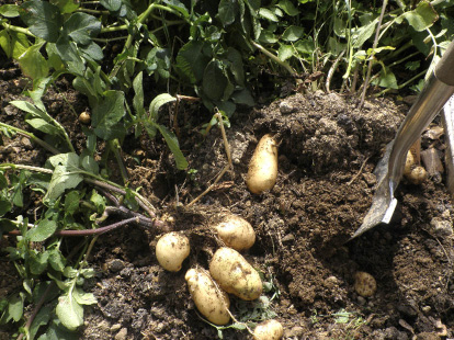 Root crops like potatoes, parsnips and carrots can also be stored for a long time if kept in the dark