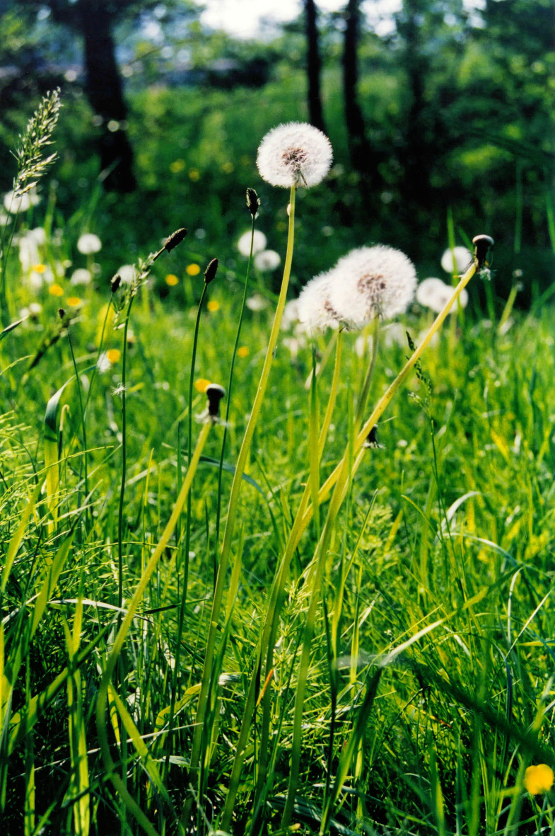 The dandelion taraxacum officinale needs no introduction and despite traditional beliefs, will not have you wetting the bed if you eat it