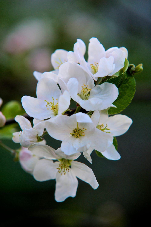 Bees love apple blossom