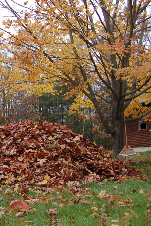 Leaves can be incorporated into the existing compost heap or, for a superior product, make a separate heap (or use a perforated black plastic bag) for leaves