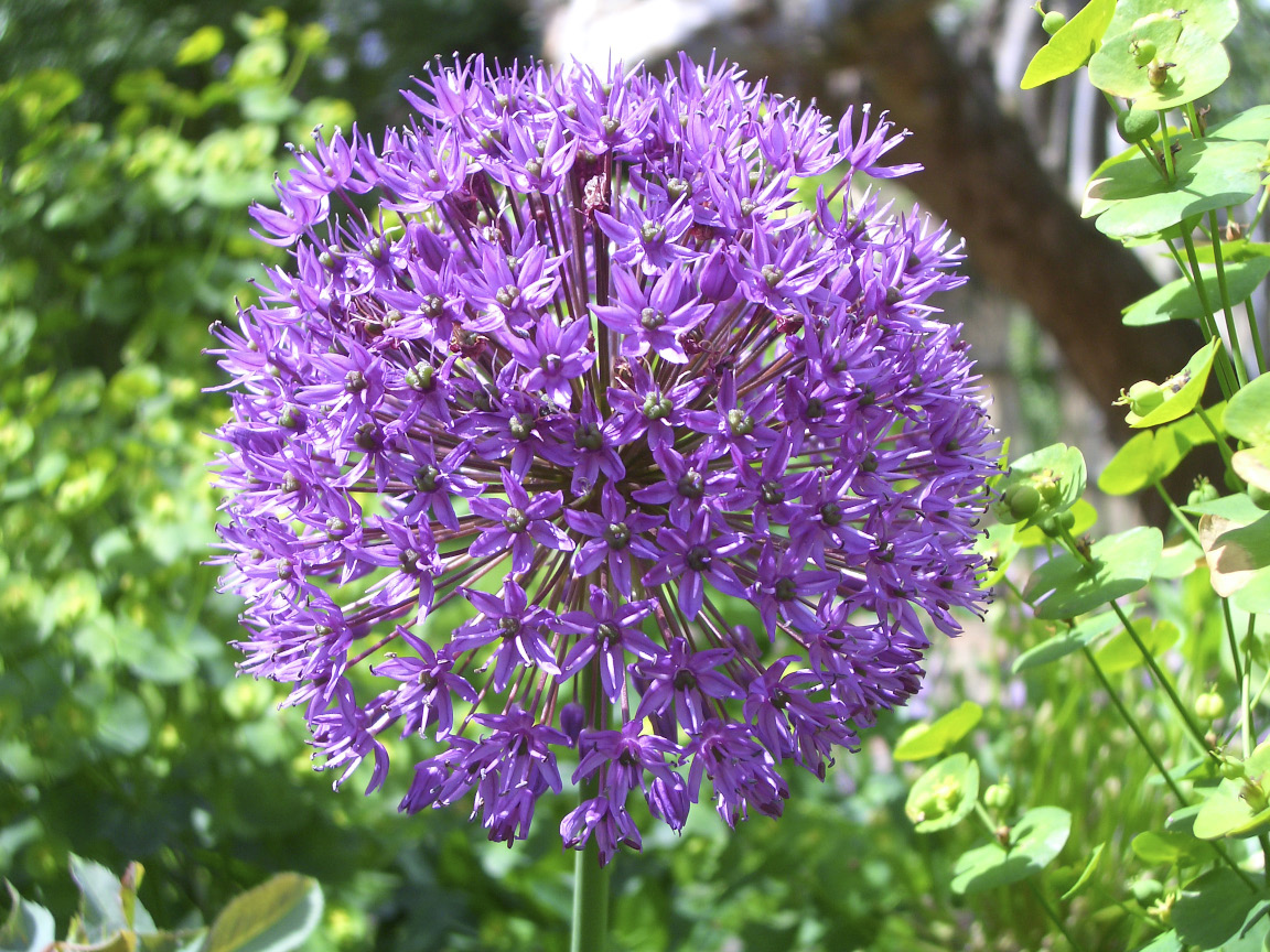 Alliums make good companions for many crops, as their strong smell confuses pests that are drawn to particular plants