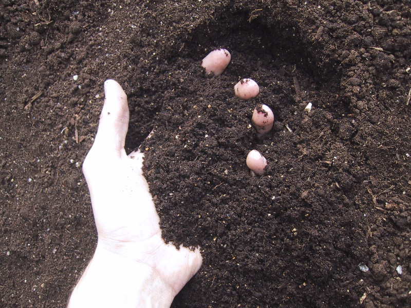 connection with the soil is implicated in the prevention of allergies, asthma and some mental disorders