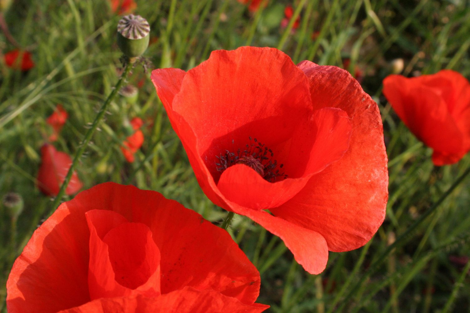 Poppies are used to harsh conditions, low fertility and competition from other plants