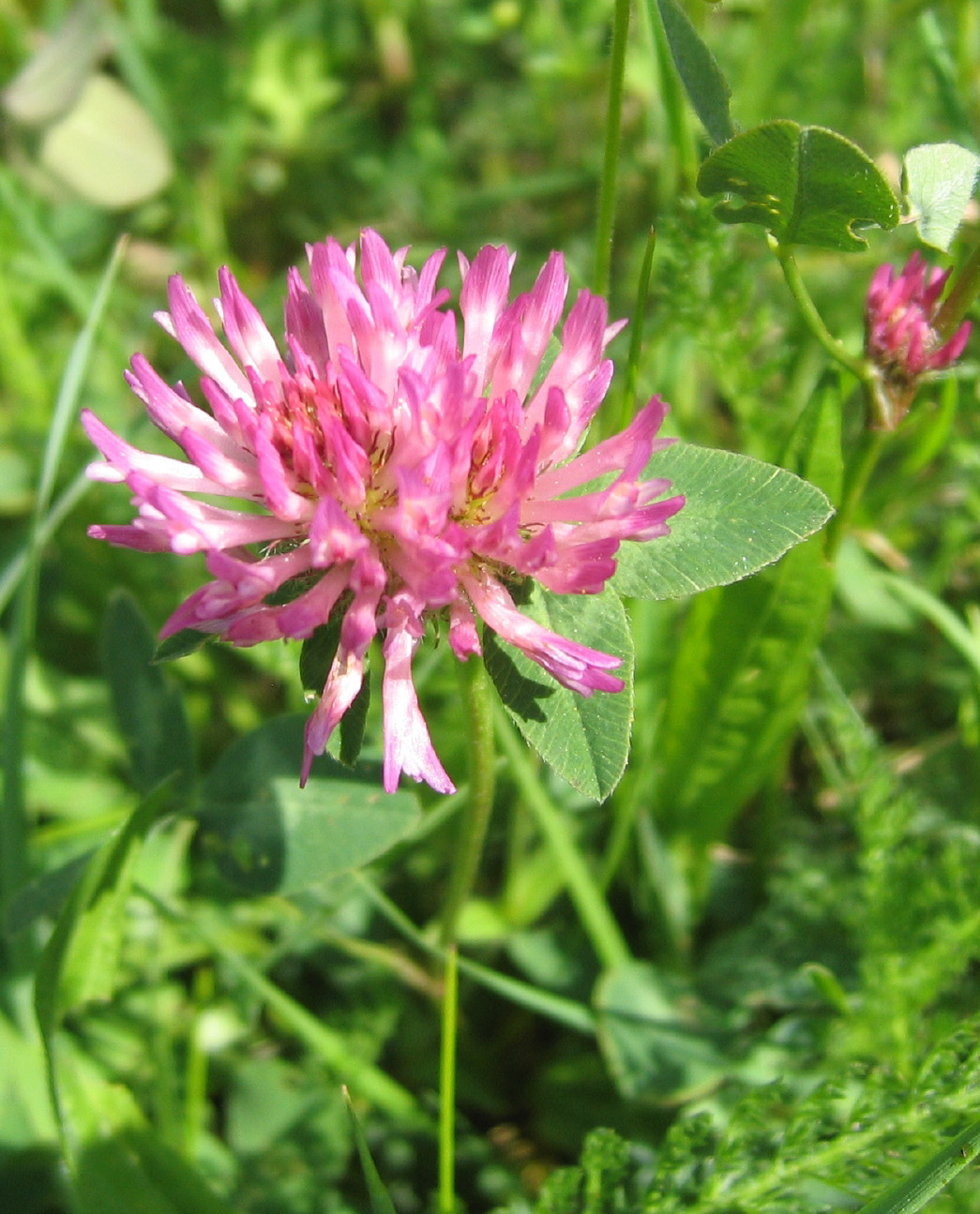 if you can be persuaded to cut your grass a little higher than usual, bees thrive on clover and fill the garden with activity and sleepy humming