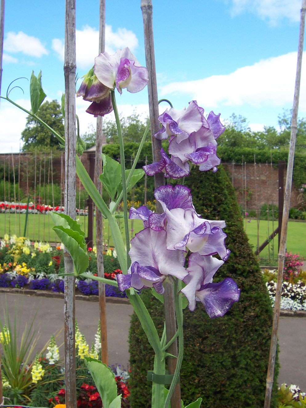 Surely, the sweet pea, Lathyrus odoratus, must be one of the world's most famous flowers