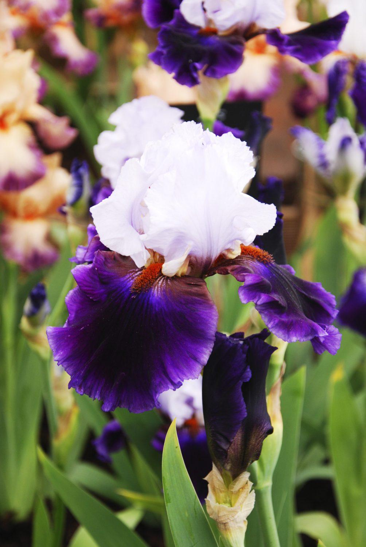 Iris 'Magnétisme'