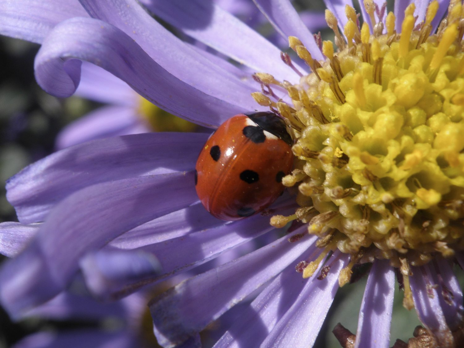 Ladybird on an aster