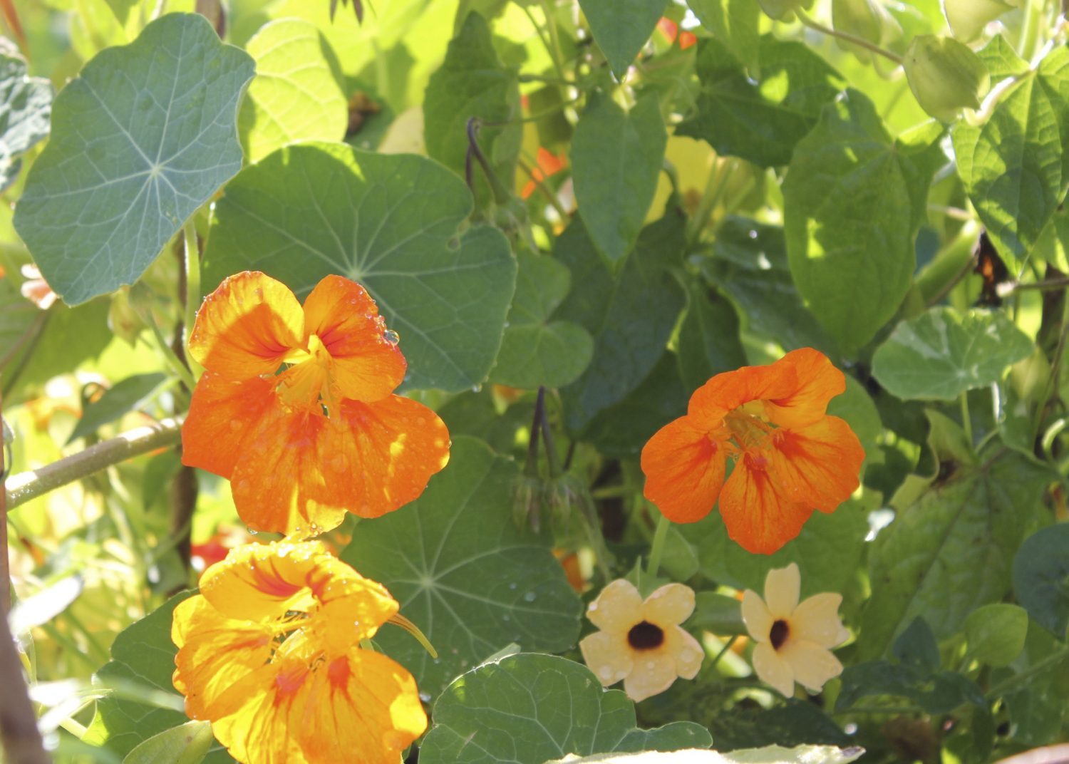 Nasturtiums in their caterpillar-free glory
